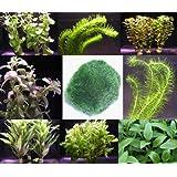 Wasserflora Anti-Algen-Set, schnellwachsene 5 Arten + 1 Mooskugel