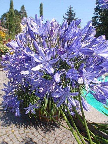 Palmenmann Schmucklilie (Agapanthus) 5 Liter - Agapanthus africanus Azul