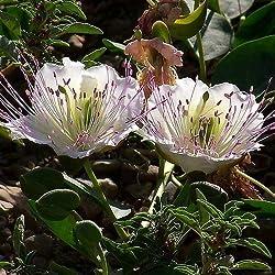 Valeriana - Valeriana officinalis - 10gr de semillas - Bt - Bolsa de semillas - Bt