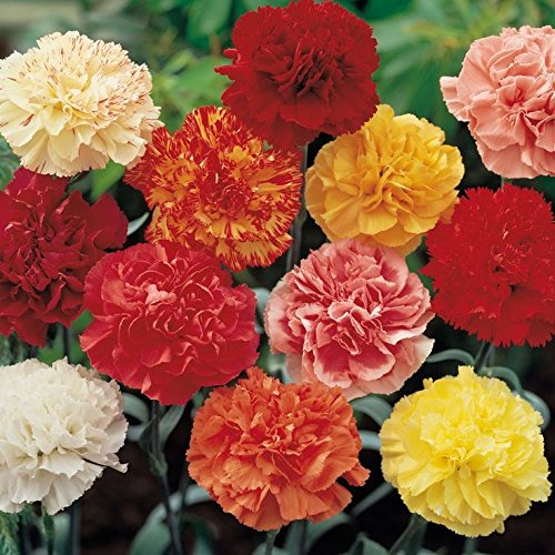 1x-packet-of-carnation-chabaud-seeds