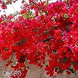 Loss Förderung! 100 PCS / bag Red Bougainvillea Spectabilis Samen Perennial Bonsai-Pflanzen-Samen Bougainvillea Blumensamen, # KK3MIH