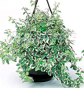 Vivai Le Georgiche Ficus Pumila Sunny