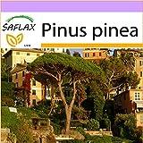 SAFLAX - Pino marittimo - 6 semi - Pinus pinea