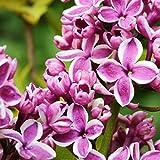 Grüner Garten Shop Flieder Sensation, Syringa purpurfarbene/weiße offene Blüte ca. 40-60 cm, Pflanze im 3 L Topf