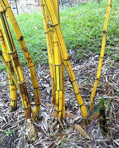 50pcs/sac plantes de bambou bleu, les graines de bambou, graines de bambou Moso, Phyllostachys plante souches nature, bricolage pour la maison et le jardin vert