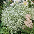 Schleierkraut (Gypsophyla paniculata) - 1 Pflanze von Garten Schlüter auf Du und dein Garten