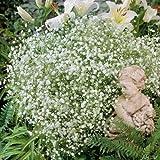 Schleierkraut (Gypsophyla paniculata) - 1 Pflanze