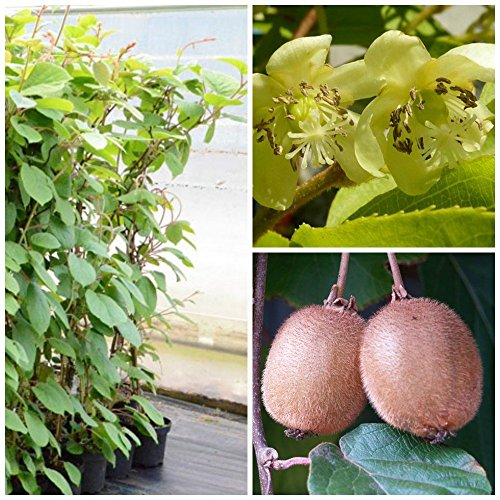 hayward-weibliche-kiwi-pflanze-60-100-cm-gro-im-3-liter-topf-guter-geschmack