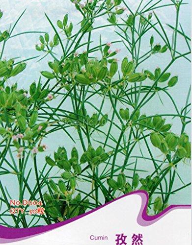 i-semi-di-cumino-cummin-cuminum-cyminum-erbe-aromatiche-piante-d004