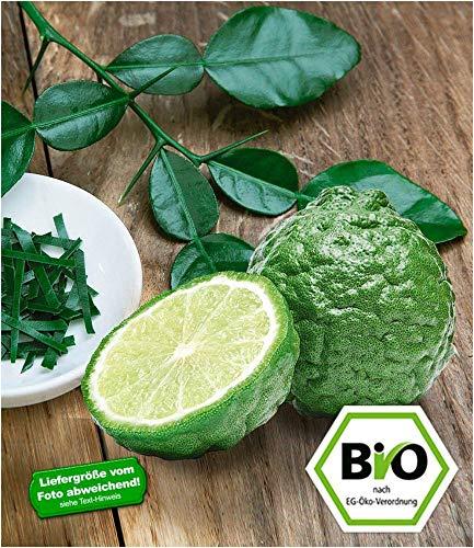 BALDUR-Garten BIO-Kaffir-Limette 1 Pflanze Citrus hystrix Kaffernlimette