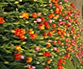 """Budget-Line : Tulpen Mischung """" MIX """" 10 Blumenzwiebeln (10/11) von GHA-Thulke bei Du und dein Garten"""