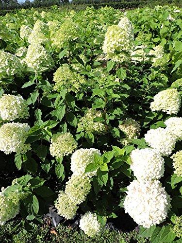 Hortensie Blüht von Juli bis September