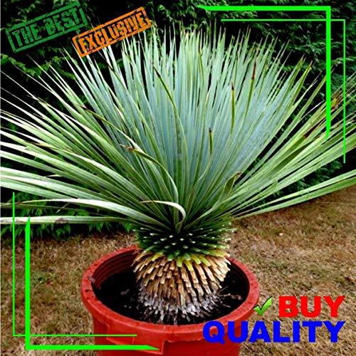 Portal Cool Yucca Rostrata Exotische blaue Farbe Joshua Tree Hardy Wüste Caudex Cacti Clant