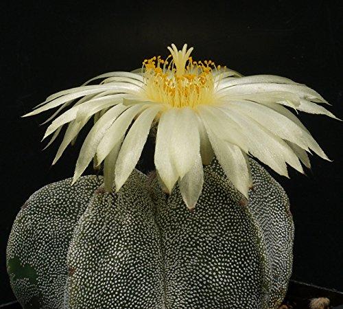 Kaktus ''Bischofsmütze'' (Astrophytum myriostigma) 25 Samen