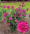 """BALDUR-Garten Gefüllter Hibiskus """"Magenta Chiffon®"""" 1 Pflanze Hibiscus syriacus von Baldur-Garten bei Du und dein Garten"""
