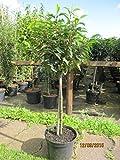 Prunus lusitanica Stamm - Portugisische Lorbeerkirsche Stamm