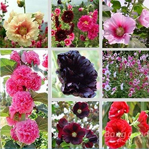 PhilMat 30 Seeds Mix Alcea Rosea Stockrose Multi Farben Blumen Pflanzen