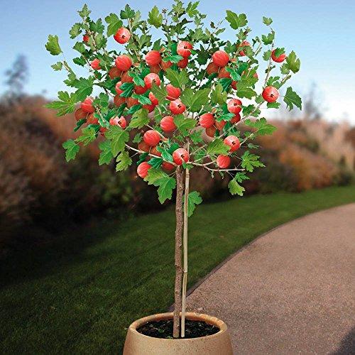groseillier-standard-hinnonmaki-rouge-1-arbre