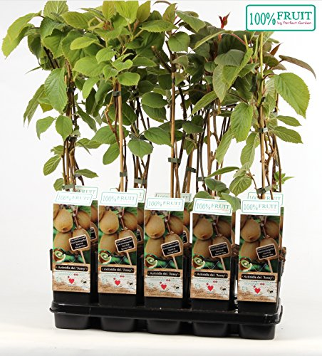 Kiwi Jenny 30 cm - Actinidia chinensis 'Jenny' - selbstfruchtend/selbstbefruchtend
