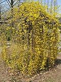 Forsythia suspensa Piangendo forsizia giallo e dorato Seeds!