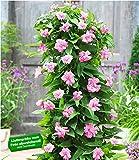 BALDUR-Garten Calystegia'Pink Lovers', 3 Knollen Kletterpflanze