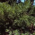 Adlerfarn - Pteridium aquilinum von Baumschule - Du und dein Garten