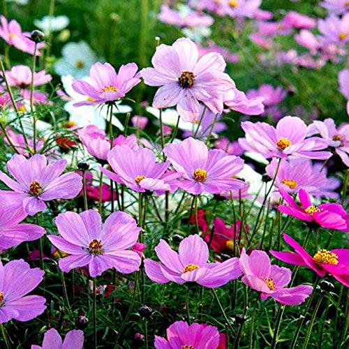 mymotto 100 pcs Mix Couleur Calliopsis Cosmos Graines Gardern Balcon Décor Plantes