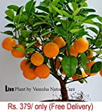 #3: Vamsha Nature Care Live Dwarf Orange Plant Tangerine (Santra) Origin Darjeeling
