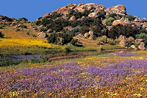 The Poster Corp Charles Crust/DanitaDelimont - Wildflowers Flourish Namaqualand Northern Cape Province South Africa Photo Print (90,45 x 60,48 cm) -