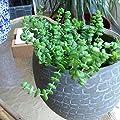 Crassula Hottentot - Steckling 5-8 cm (unbewurzelt) von CactusPlaza.com bei Du und dein Garten