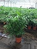 Blumen-Senf Bergpalme 70 cm Chamaedorea elegans Zimmerpflanzen