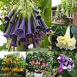 Go Garden 07: 100 Stück Rare Datura Brugmansia Samen Topf Bonsai Trompeten Engel Garten-Blumen