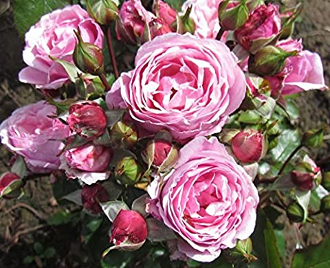 HEART'S DESIRE - 4lt Potted Floribunda Garden Rose Bush -