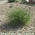 Lampenputzergras Hameln - großer Topf - Pennisetum alopecuroides von Baumschulen auf Du und dein Garten