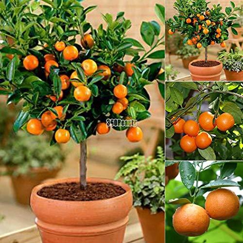 Yukio Samenhaus - Mandarinenbaum (Citrus reticulata) Obstsamen Bonsai Samen winterharte Sorte Fruchtpflanzen Samen Orangenbaum (10 Samen)