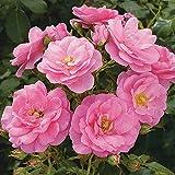 Rose Mirato- Bodendeckerrose pinken Blüten - Kleinstrauchrose Pflanze Winterhart Halbschattig von Garten Schlüter - Pflanzen in Top Qualität