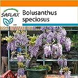 SAFLAX - Garden in the Bag - Bonsai - Afrikanischer Blauregen - 15 Samen - Bolusanthus speciosus