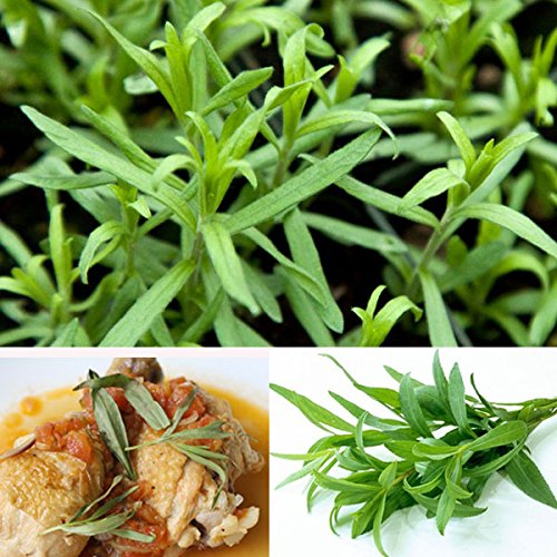 Semilla De Artemisia Dracunculus De Inovey 10Pcs Estragón