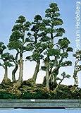 Tropica - Bonsai - Australische Kiefer - 200 Samen