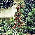 Riesen Kletter-Erdbeere - Strawberry Giant Red Climbing - 30 Samen von Xuanqin auf Du und dein Garten