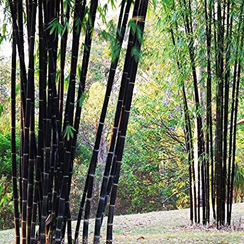Bluelover 100pcs schwarzen Bambus Samen Hof Phyllostachys Nigra Gartenpflanzen