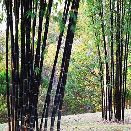 Bluelover Piante da Giardino 100Pcs Bambù Nero Semi Cortile Phyllostachys Nigra