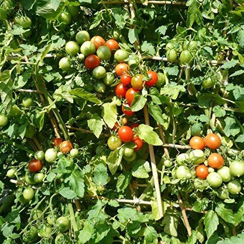 10 Samen Deutsche Riesentraube Tomate - riesige Rispen mit hunderten Blüten