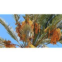 Phoenix Dactylifera, Hawaii Dattelpalme, 10 Samen