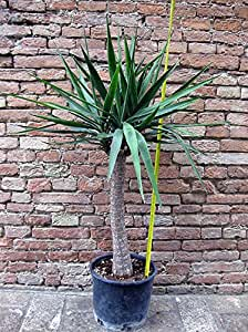 Yucca elephantipes, tronchetto della felicità 110 cm, cactus, pianta grassa