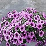 ESHOO Petunia Petunia Blumensamen für Hausgarten-Dekoration 100 Stück