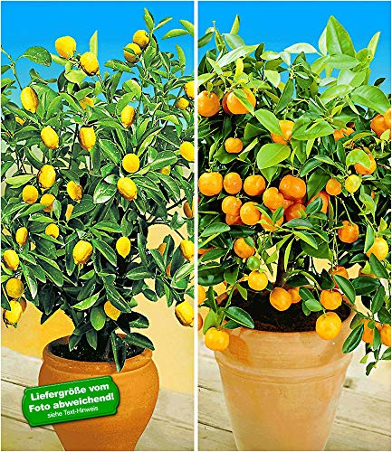 Calamondin-Orange  <strong>Wuchsform</strong>   Stamm