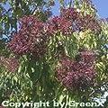 Bienenbaum - Samthaarige Stinkesche 80-100cm - Tetradium daniellii von Baumschule auf Du und dein Garten