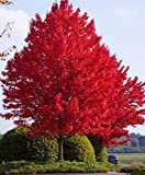 #7: JustSeeds :: SIBERIAN MAPLE TREE Acer Ginnala Seeds Red Leaves