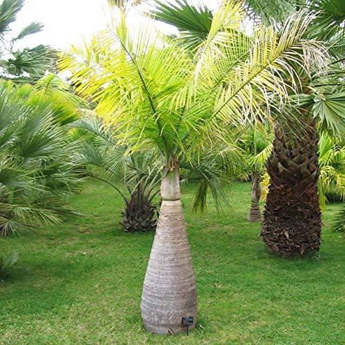 Portal Cool Flaschenpalme - 10 Samen - Flasche Palm